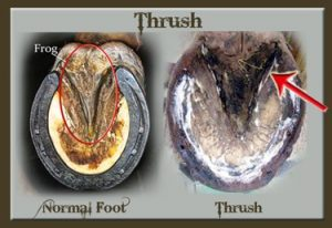 Thrush-Buster